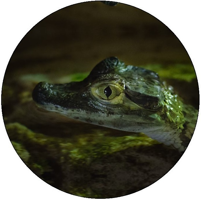 Alligator and Crocodile Pinback Buttons and Stickers