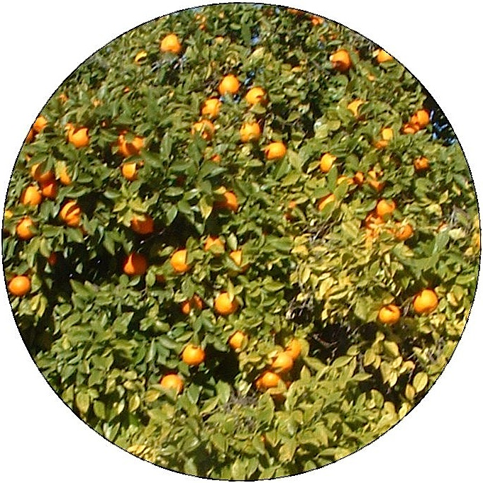Orange Tree Pinback Buttons and Stickers