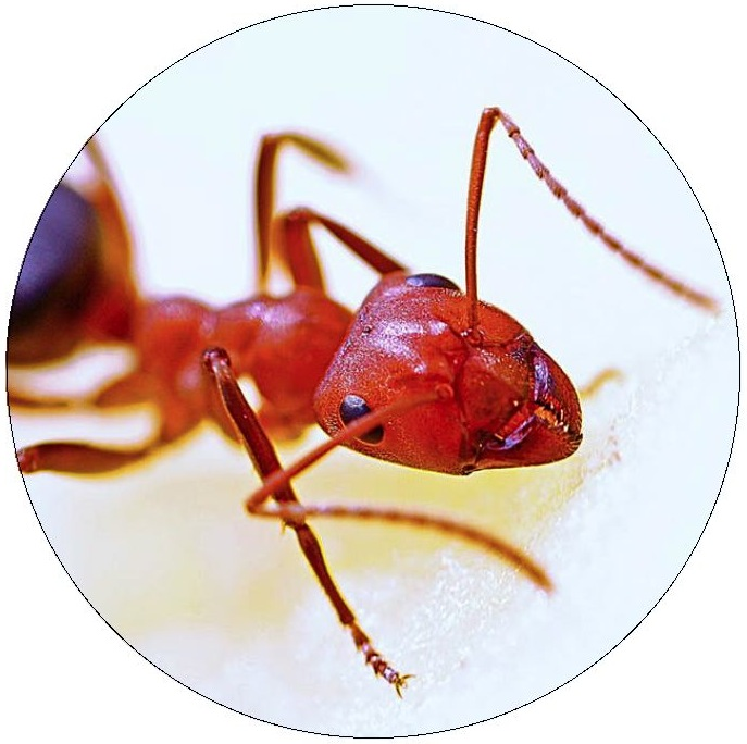 Ants Pinback Buttons and Stickers
