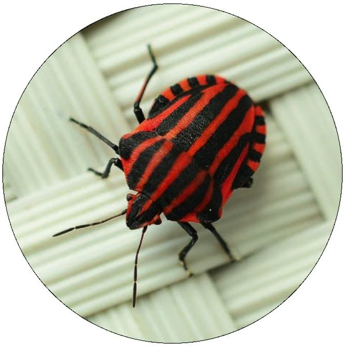 Beetle Pinback Buttons and Stickers