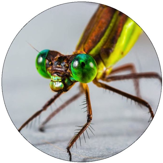 Dragonfly Pinback Buttons and Stickers