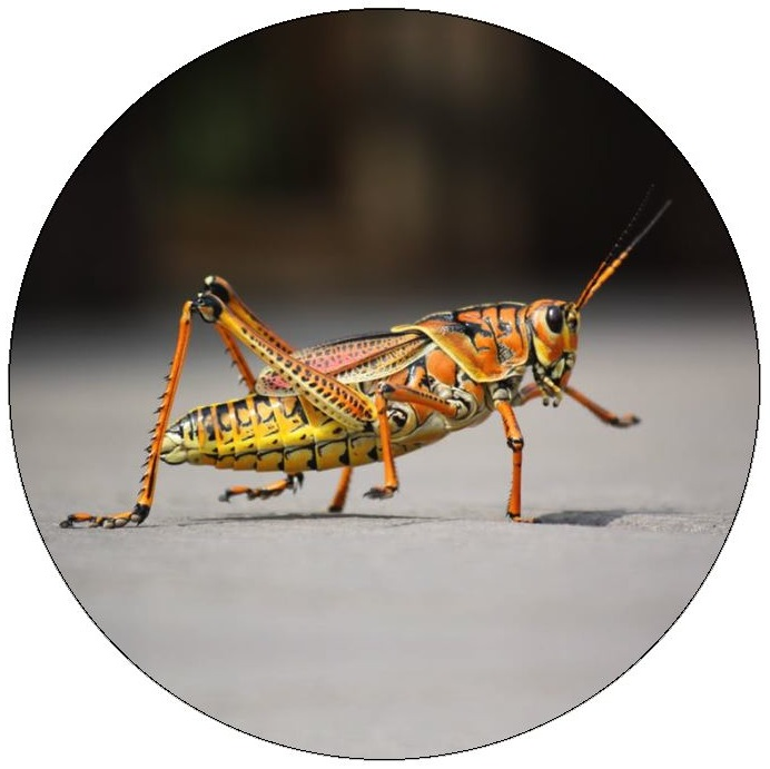 Grasshopper Pinback Buttons and Stickers
