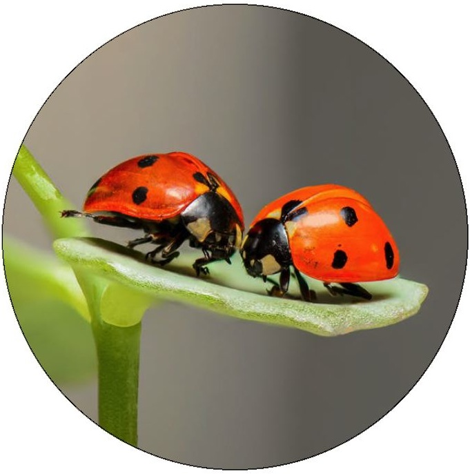 Lady Bug Pinback Buttons and Stickers
