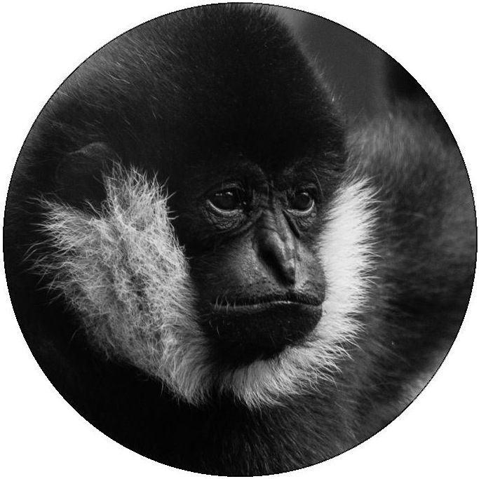 Gibbon Monkey Photo Pinback Button and Stickers