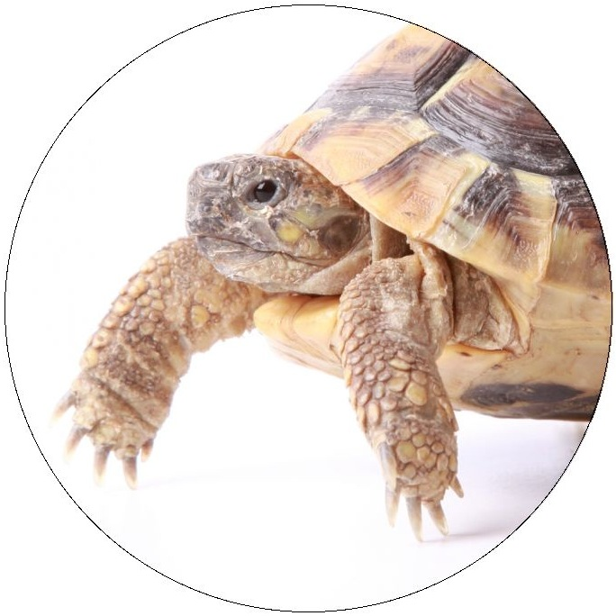 Turtle and Tortoise Pinback Buttons and Stickers
