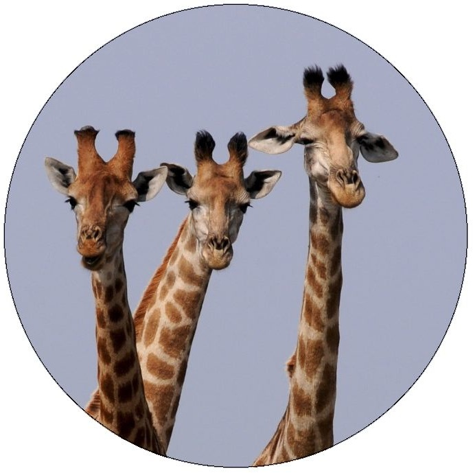 Giraffe Pinback Buttons and Stickers