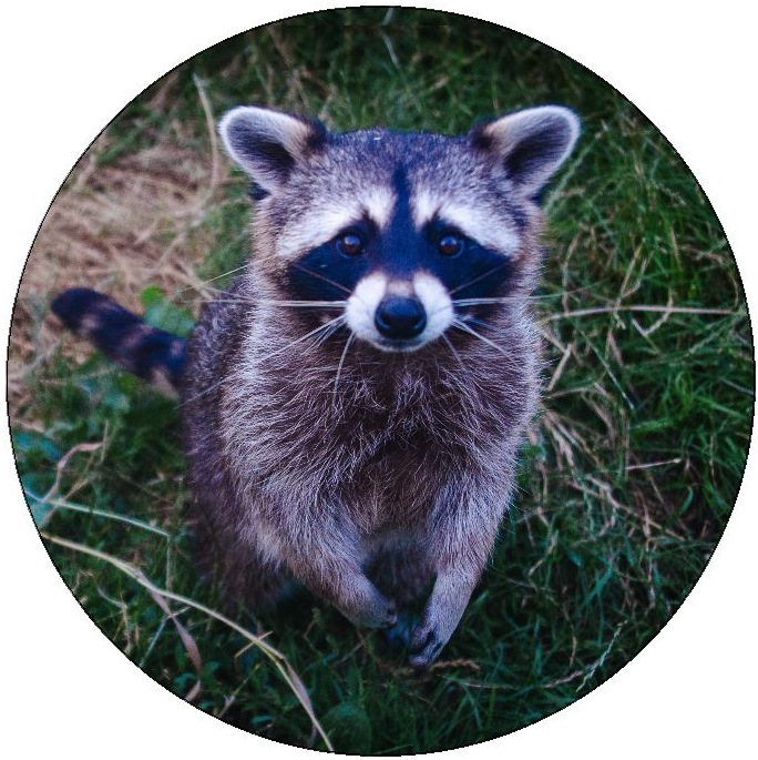 Raccoon Pinback Buttons and Stickers